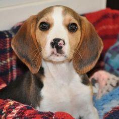 Beagle... I love that nose!