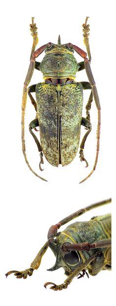 Prosopocera angolensis