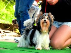 Biewer Yorkshirsky terier s PP - 1 Biewer Yorkie, Hair Styles, Dogs, Animals, Beauty, Animales, Animaux, Hair Makeup, Doggies