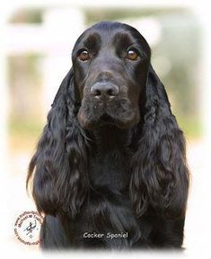"""Visit our internet site for additional info on """"cocker spaniel dog"""". It is actually an excellent spot to find out more. Spaniel Breeds, Spaniel Puppies, Dog Breeds, Dogs And Puppies, Doggies, Black Cocker Spaniel, American Cocker Spaniel, Show Cocker Spaniel, Field Spaniel"""