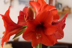 Így lesz csodás virága az amarillisznek | Balkonada Garden Plants, Beautiful Roses, Gardening, Flowers, Lawn And Garden, Royal Icing Flowers, Flower, Florals, Floral