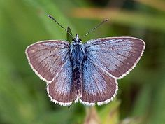 Huhtasinisiipi, Plebeius nicias - Perhoset - LuontoPortti Butterflies, Scenery, Wildlife, Nature, Animals, Inspiration, Finland, Birds, Ant
