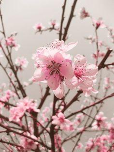 I love, love, love Cherry Blossoms.