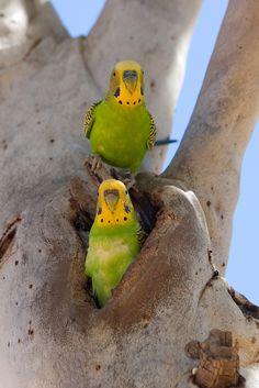 Kinds Of Birds, All Birds, Cute Birds, Wild Budgies, Parakeets, Breeding Budgies, Beautiful Birds, Animals Beautiful, Animals And Pets