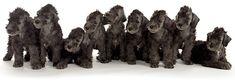 Bedlington pups