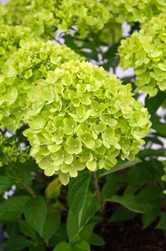 Hydrangea paniculata Little Lime ('Jane') (PBR) - It may be half the size of its sibling 'Limelight', but this fab new hydrangea still packs pretty good punch. It has strong stems that support the weight of the conical, lime green flowers, which fade to cream and then pink as the season progresses. Grate where space is limited, but you want a hard-working and colourful plant, it can also be grown in large pots if kept well watered.