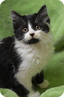 Atlanta, GA - Domestic Mediumhair. Meet Chi151563, a kitten for adoption. http://www.adoptapet.com/pet/13627004-atlanta-georgia-kitten