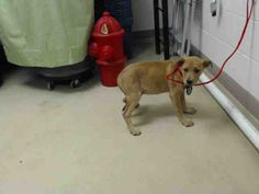 01/05/15-STILL THERE - SUPER URGENT SO HURRY PLEASE - TAKE ME HOME WITH YOU !! HOUSTON - This DOG - ID#A421697 I am a female, brown and tan Labrador Retriever mix. The shelter staff think I am about 4 months old. I have been at the shelter since Dec 22, 2014.