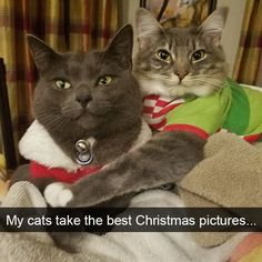 Cats 🐱 - Cat, cat memes, cats funny, cats and kittens and cats cute. I Love Cats, Crazy Cats, Cool Cats, Funny Cat Photos, Funny Animal Pictures, Hilarious Pictures, Christmas Animals, Christmas Cats, Merry Christmas