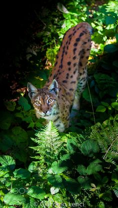 Sunset Eurasian Lynx - Bavarian Forest National Park Stunning