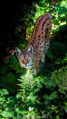 Sunset Eurasian Lynx - Bavarian Forest National Park