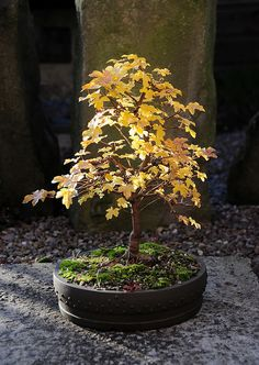 English Field Maple Bonsai Tree (Acer campestre) in Autumn Foliage by Steve Greaves Bonsai Acer, Maple Bonsai, Bonsai Plants, Bonsai Garden, Bonsai Trees, Air Plants, Cactus Plants, Growing Seeds, Growing Tree