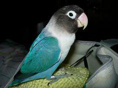 Otro de mis angelitos es Mari, el primer pájaro que críe a mano. #Agapornis #lovebirds Mari, my first lovebird hand feeding