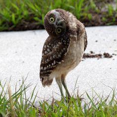 The Burrowing Owl  Pinned by www.myowlbarn.com