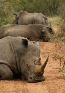 SA Rhinos - this pic makes me smile and at the same time saddens me.....
