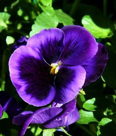 purple pansy ... The most fragrant little flowers ... Beautiful in containers!