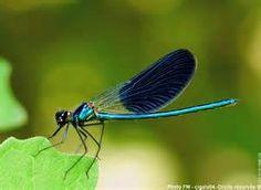 Une jolie libellule bleue photographiée en Croatie dans le très beau ...