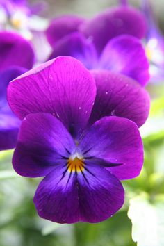 purple, periwinkle, and yellow pansy