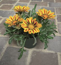 Gazania Seeds Big Kiss Yellow Flame 25 thru 500 Seeds F1 Hybrid
