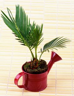 This small palm is known to purify the air, adding more oxygen to your environment and reducing carbon dioxide. It also acts as a natural humidifier, which is particularly nice during the winter months, when your home can feel dry from the heating system. Hydrangea Potted, Hydrangea Flower, Flower Pots, Indoor Plant Wall, Indoor Plants, Begonia, Modern Rustic Chandelier, Flower Garden Images, Household Plants