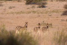 Zebra are super wary animals and in my opinion, one of the hardest to hunt. These three knew something was going on and spotted us well before we saw them.
