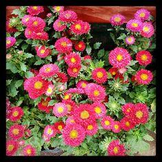 Flowers of Baguio