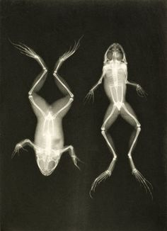 X-ray photograph of frogs, c.1896 by Josef Maria Eder and Eduard Valentia - print