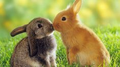 bunnies+|+Kissing+Bunnies+HD+Wallpaper