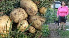 How to Harvest Potato Towers  http://prepperhub.org/how-to-harvest-potato-towers/