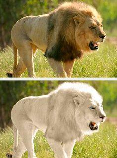white lion picture | Albino Lion - Worth1000 Discussions