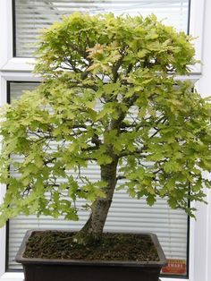 One day I'd like my little oak seedling to grow into something like this...