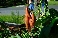So you've decided to grow some sweet potatoes in the garden and now you need information about when and how to harvest sweet potatoes once they've matured. Read this article to learn more.