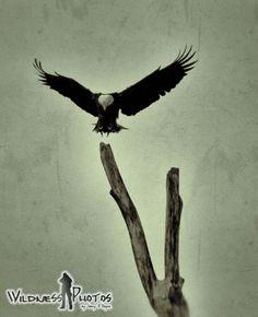 Bald Eagle Landing 1