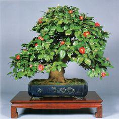 ~ Shohin (medium size) bonsai ~