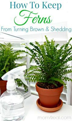 How to keep ferns from turning brown and shedding along with tons more tips and tricks at mom4real.com! Follow Mom 4 Real on Pinterest for m...