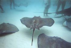 Stingray City - Grand Cayman Islands.  An amazing experience.
