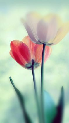 Flower, nature, flowers, wallpaper, iPhone, clean, beauty, colour, peaceful, calming, abstract