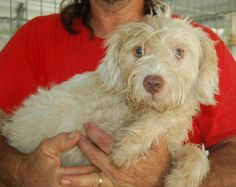 Meet PINKY TALBOT, a Petfinder adoptable Wirehaired Terrier Dog | Feasterville, PA | 08.07.15Pinky is a Wire-Hair terrier mix, very very cute. He is  1 yr old and weighs 13 lbs. He is...