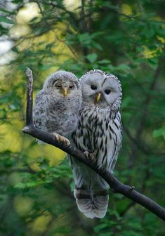 Ural Owls ~ mother & baby owlet - so sweet! Beautiful Owl, Animals Beautiful, Pretty Birds, Love Birds, Animals And Pets, Cute Animals, Funny Animals, Owl Bird, Baby Owls