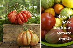 Saving Tomato Seeds: What with all the concerns over GMOs, it's time everyone learned the essential life skill of how to save and store seeds.