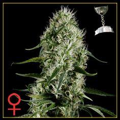 Greenhouse Seeds - Super Silver Haze (Feminised)