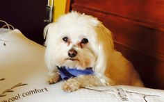~ Daily Dose of Cuteness ~ Sunny, our Maltese boy (Shared by Donna Wheeler Wilson) #DogoftheDay http://aboutmorkies.com/ Follow us: Facebook.com/YorkiesMorkiesMaltese Twitter.com/morkienation #dog #doglovers #animals #pets #yorkies #yorkie #yorkielovers #petlovers #dogowners #puppy #adorablepets #sillydogs #smallanimals #instadogs #instayorkie #instapuppy #instaanimals #petsofinstagram #dogsofinstagram #yorkieofinstagram #puppylove #animallovers #ilovemypet #ilovemyyorkie #igdogs #igpets