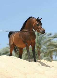 Kenz Noor (EG) 2000 Straight Egyptian bay stallion. Imperial Madori {Imperial Madheen x Imperial Orianah by Orashan} x Naksh El Koloob Noor {Ibn Nazic x Ghadeer by Anter} Bred by  Noor Stud, Egypt. Owned by Rabab Stud, Egypt.