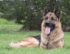 German Shepherd Dog (Beautiful)