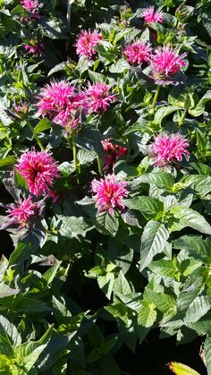 Bee Balm is great for attracting little friends like bumble bees and hummingbirds Flowers throughout the summer tall Best in full sun Zone 4 Perennials, Hummingbird Flowers, Bumble Bees, Lawn Care, Hummingbirds, Plymouth, The Balm, Gardens, Sun