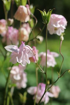 My addiction! If there would only be one flower I could grow, it would be aquilegia. I am simply compelled by them.When I was a child there were always pink aquilegias in my grandmother's garden. N...