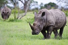 Gains made in fight against rhino poaching - http://www.environment.co.za/wildlife-endangered-species/gains-made-fight-rhino-poaching.html