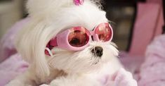 According to the Dog Reference web site, the Maltese is the #1 most beloved dog of all time!