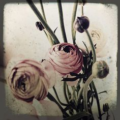 Ranunculus - faded colours. Available in pinks, whites, yellows, oranges and bright colours
