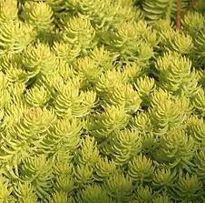 Blue spruce sedum in the garden pinterest blue spruce and blue succulent ground covers mightylinksfo